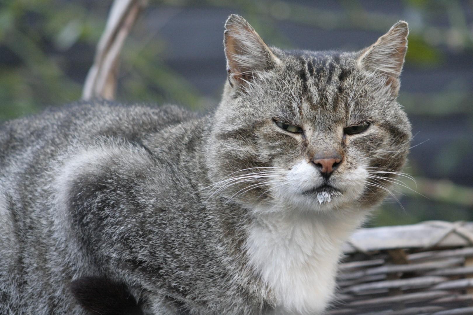 Kattens Uge
